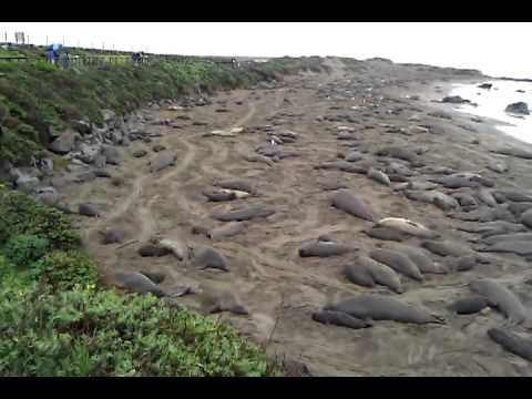 Elephant seals flippin' sand and squonkin'