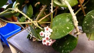 A Visit with Hoya obovata