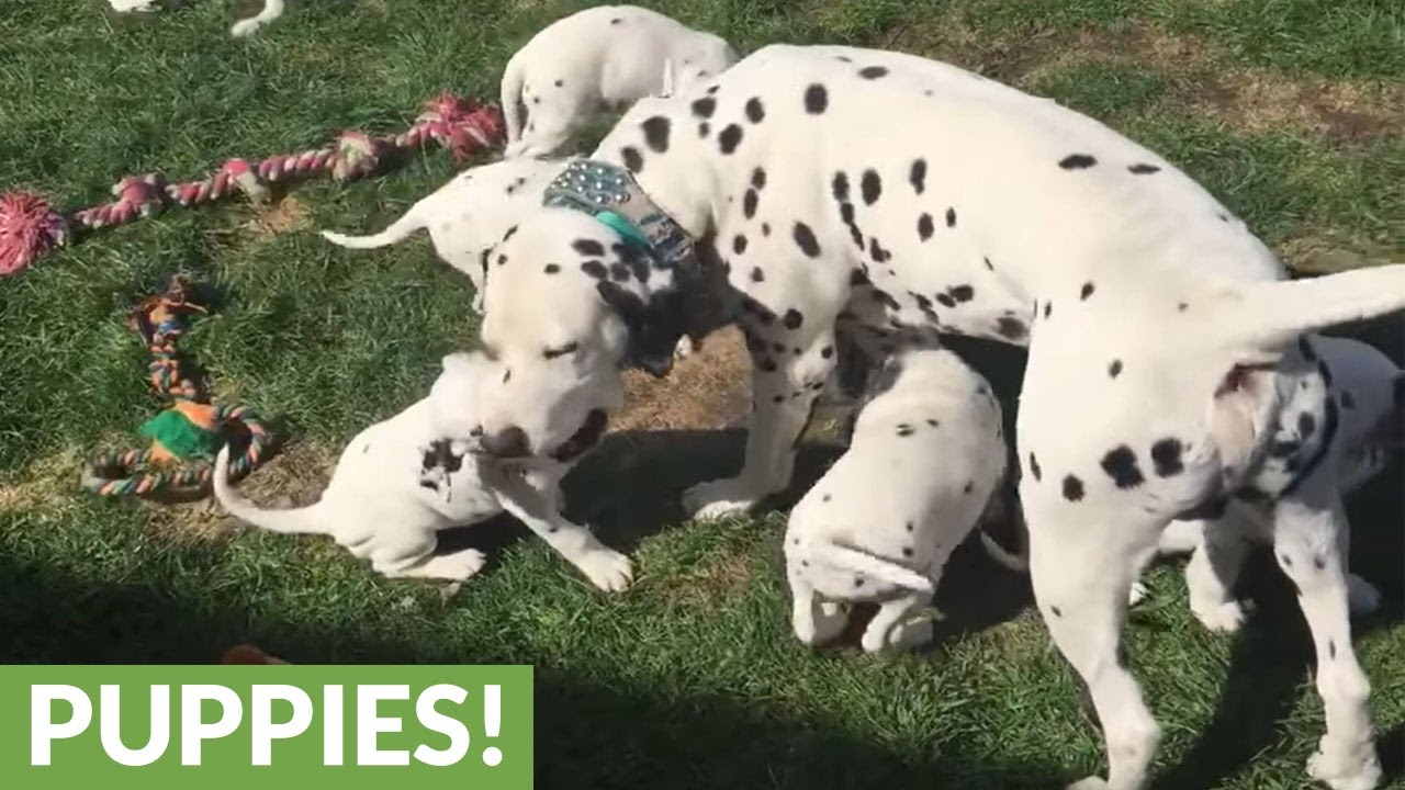 Dalmatian Dad Jumps Into Puppy Pen To Bond With His Kids Youtube