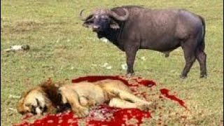 Lion vs buffalo Bull fight back leapord vs wild bear