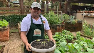 Como Plantar Quiabo em Vaso na sua Horta Caseira
