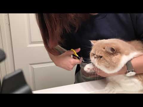 Exotic Shorthair cat getting nail trim