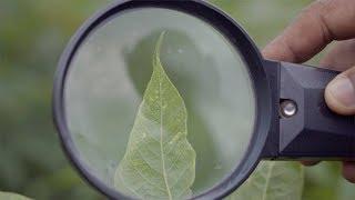 Managing Cassava Mosaic Disease (CMD)