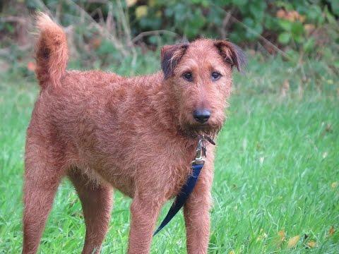 Charlie - Irish Terrier - 2 Week Residential Dog Training