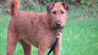 Charlie - Irish Terrier - 2 Week Residential Dog Training