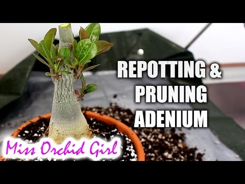 Repotting and pruning