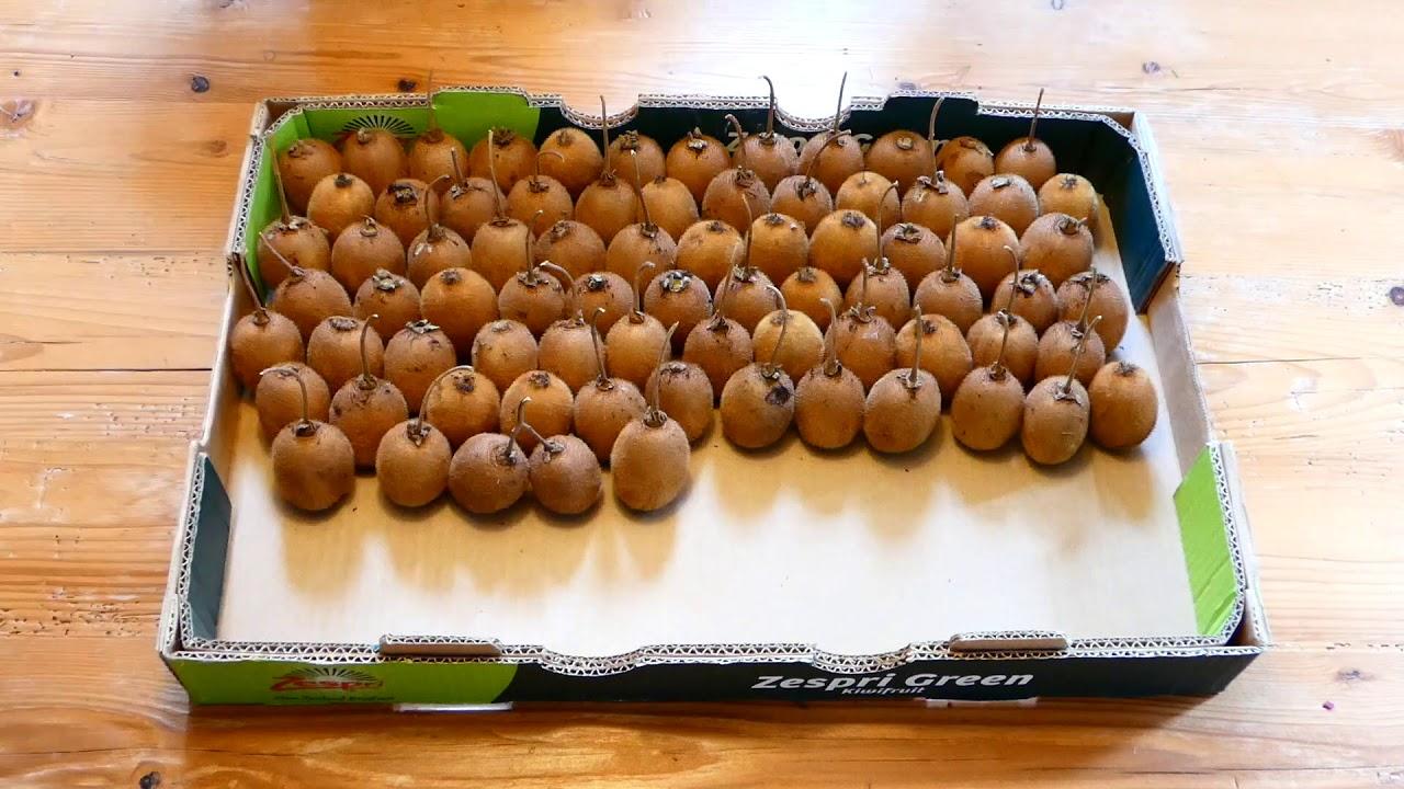 Zeitraffer Kiwi Frucht, Time-lapse fuzzy kiwifruit, Chinesische Stachelbeere (Actinidia deliciosa)