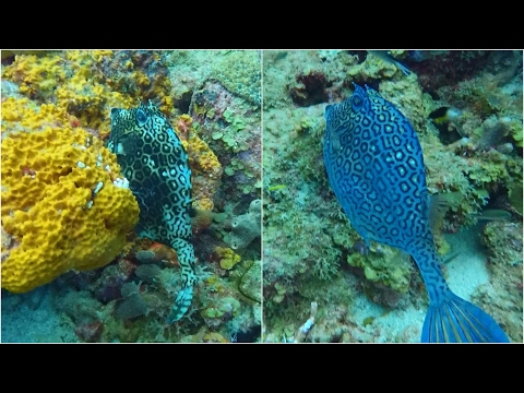 Honeycomb Cowfish Changing Color