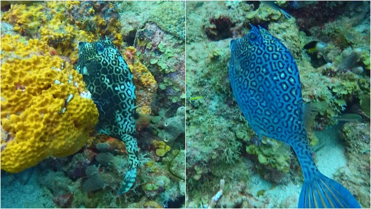 Honeycomb Cowfish Changing Color - YouTube