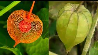 अगर कहीं मिल जाए यह फल तो झट से तोड़कर खा ले यह तो सबसे बड़ी औषधि है
