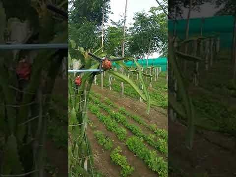 Gujarat success full farming of Dragon Fruit# Melia dubia