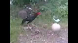 crazy chicken soccer lionel messi