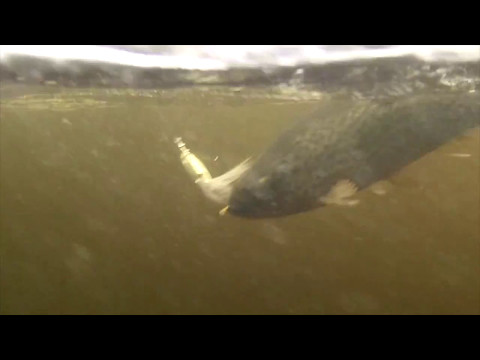 Beaver Brook Trout Fishing W/ White And Silver Spinner