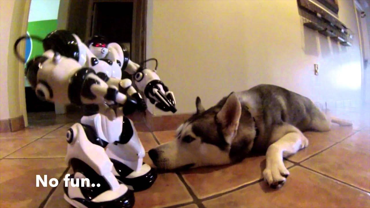 Husky Doesn't Like Robot (Husky vs Robot)
