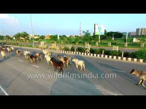 Cattle class coexisting with modern infrastructure in Gurgaon! : Aerial