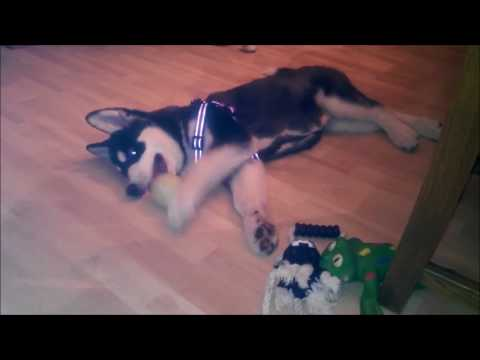 Alaskan Malamute puppy playing at her furever home (Part 2)