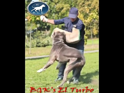 Biggest Blue protection trained XL bully Pitbull and Service Dog!! BGK