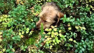 Dachshund eating lingonberries