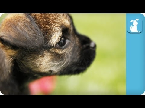 80 Seconds of Cute Lovable Border Terrier Puppies