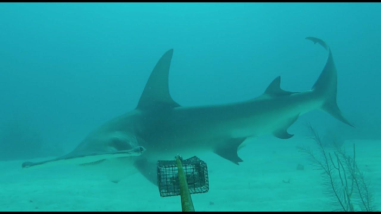 Shark census reaches first 100 reefs
