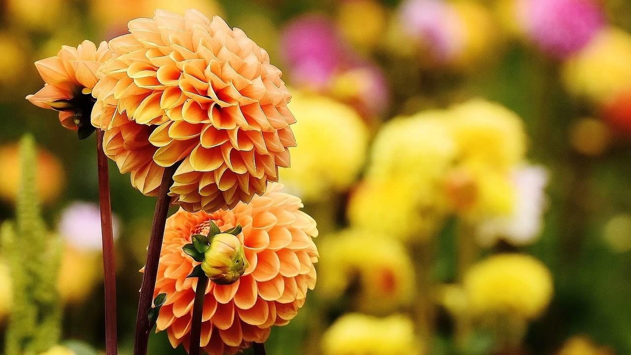 autumn flowers wallpaper - youtube