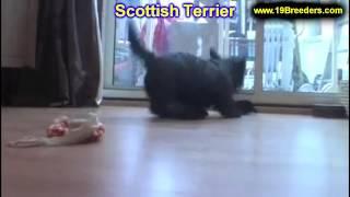 Scottish Terrier, Welpen, für, verkauf, In, Nordrhein Westfalen, Deutschland, Bayern, Hessen