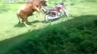 bull humping bike