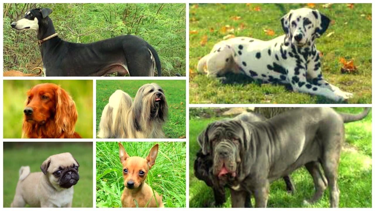 Top Pet Dogs In India Neapolitan Mastiff Youtube