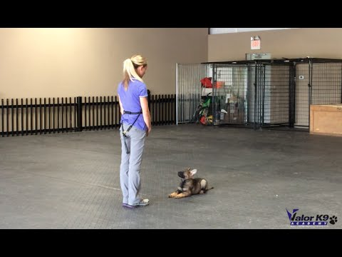 German Shepherd puppy obedience training | 9 weeks old | Valor K9 Academy, LLC