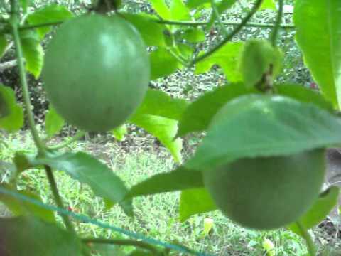 Пассифлора: уход в домашних условиях, виды, выращивание из