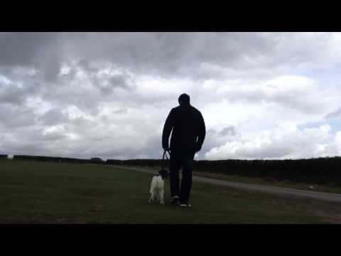Stop a dog from pulling on leash Springer Spaniel loose lead walking
