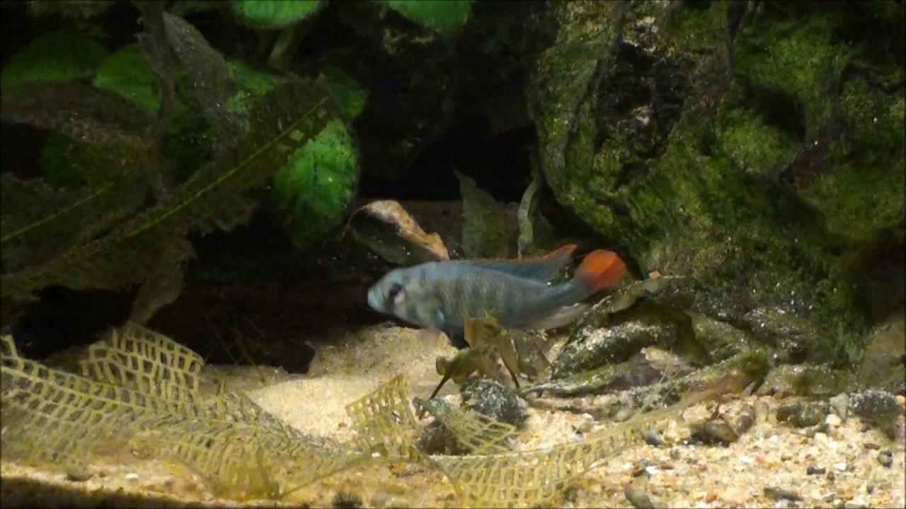 """Картинки по запросу Platytainiodus sp. """"red tail sheller"""""""
