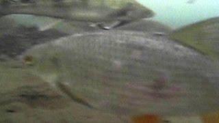 Реакция рыбы на перепад давления. Рублёво. Дровяной. Съёмка подводной видеокамерой Aqua-Vu Micro 5