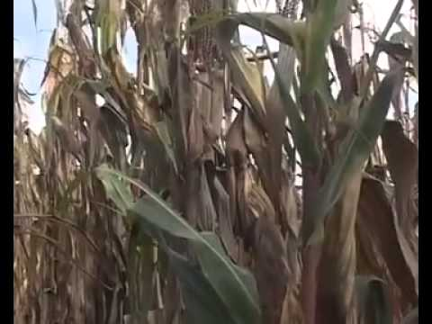 Documentary on Conservation Agriculture video Laures clip