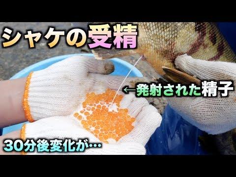 イクラに鮭の精子をかけて受精させたら30分後にある変化が、、、