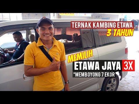 Beternak Kambing 3 Tahun Dan Setia Memilih Etawa Jaya 3 Kali 7 Oktober 2018