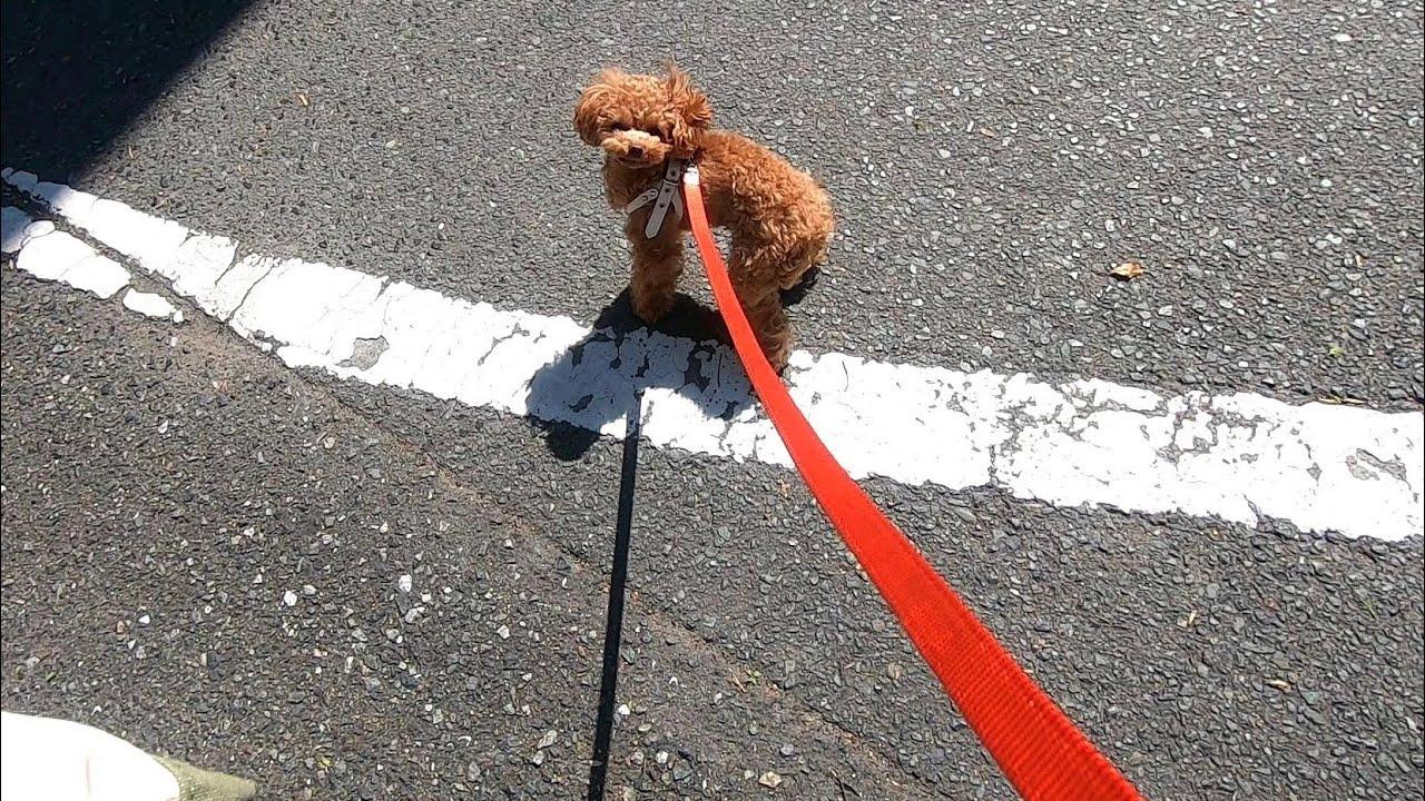 散歩道が病院だと分かった瞬間テンションが100→0になる犬(狂犬病予防接種)【トイプードルのコロン】