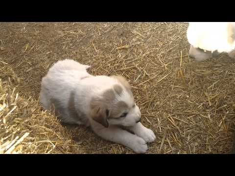 Visiting the Anatolian Pyrenees puppies!