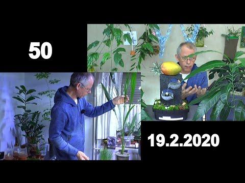 Besondere Pflanzen. Moringa und Mango die weitere Pflege. Der bewachsene Zimmerspringbrunnen im Upda