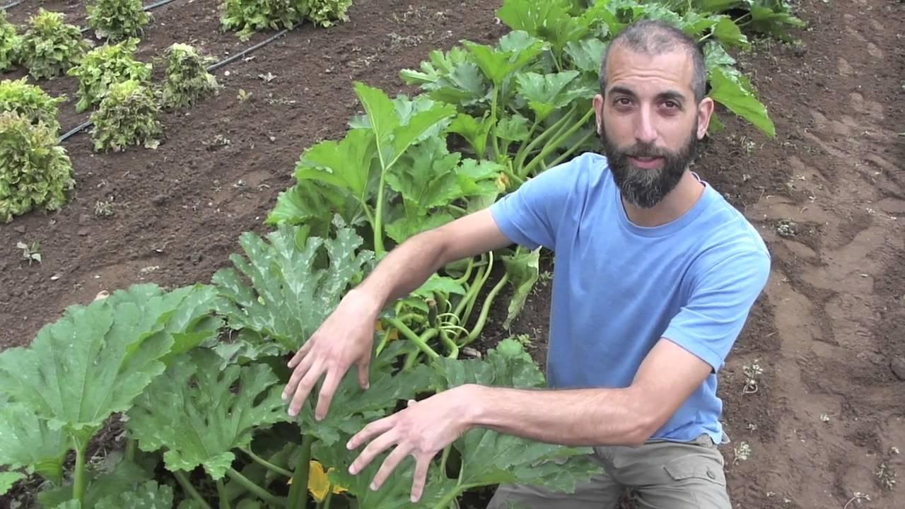 Dark Star Zucchini Seed Crop Youtube