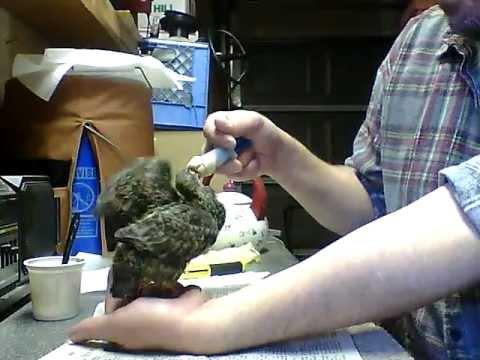 Hand Feeding Baby Pigeons - YouTube