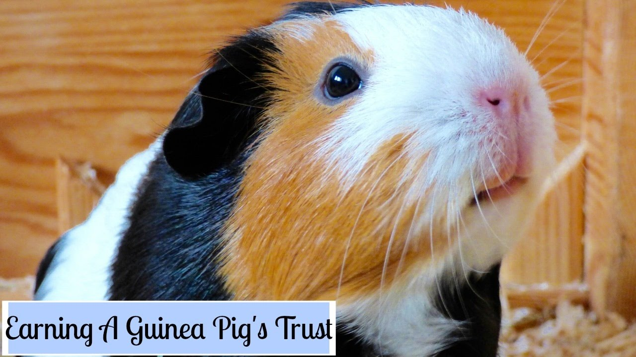 how to make your guinea pigs trust you youtube