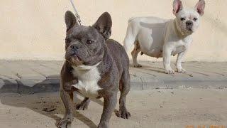 Французские бульдоги ГОЛУБОГО и БЕЛОГО цвета.French Bulldog blue and white colors.Odessa.