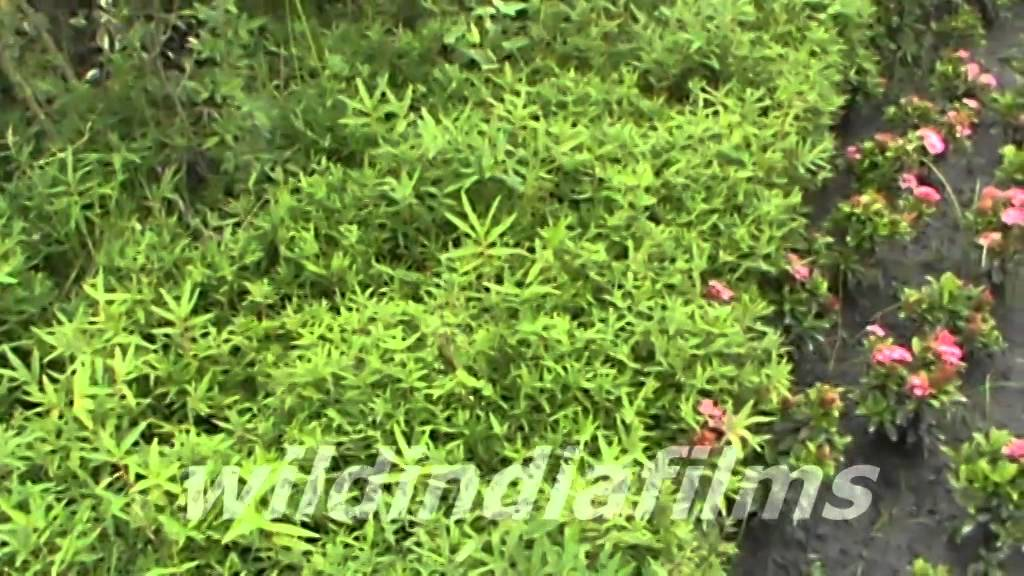 Dwarf Bamboo Variegated Leaf Plants In Kolkata Ecopark By Wildindiafilms You