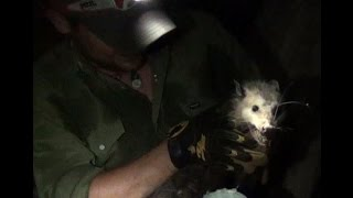 Pulling A Wild Angry Opossum Out Of A Log