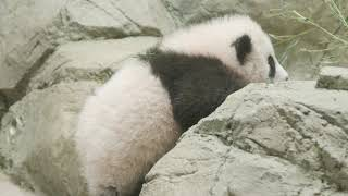 Giant panda cub Xiao Qi Ji vs. the Rock Wall