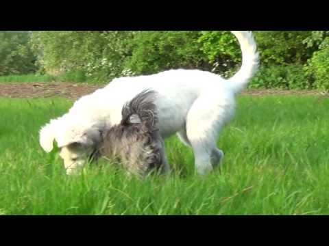 #Maremma Italian Sheepdog #Puppy Playing in Grass with Small Dog ---