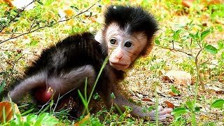 Baby Monkey Dax Tries His Best To Walk! Very Happy To See His Commitment