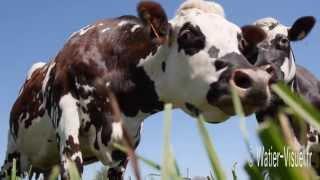 Troupeau de Vaches Normandes en pâture sur une prairie de Dactyle
