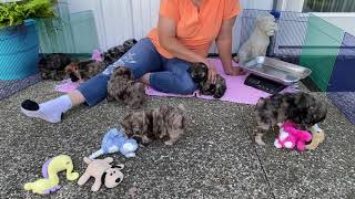 Dori's Schnoodle puppies 6 weeks old August 17, 2020
